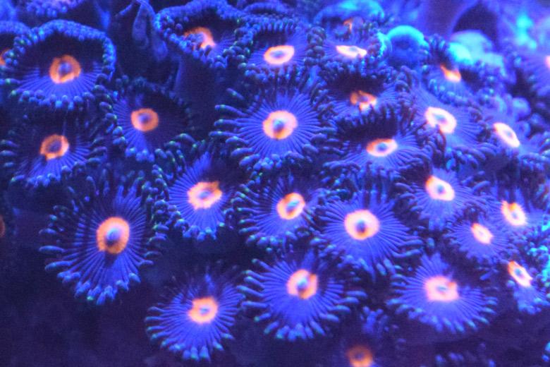 zoanthus-azules